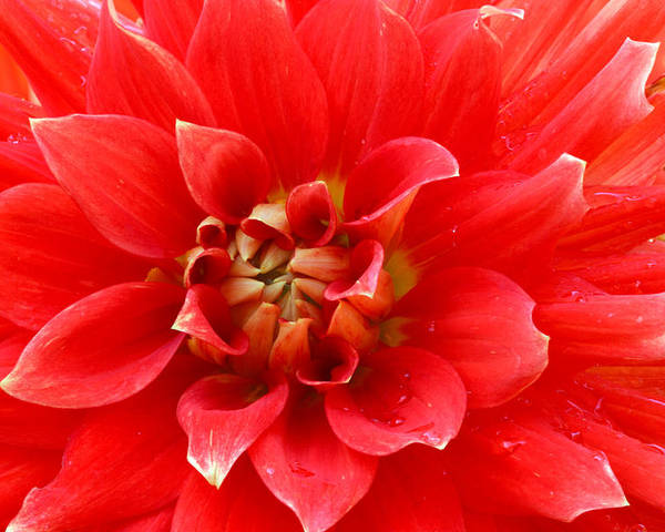 Allergy Poster featuring the photograph Red Dahlia Flower by RM Vera