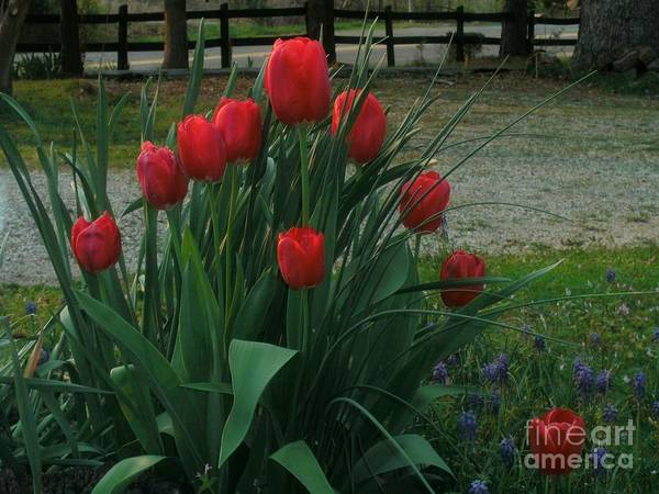 Red Dynasty Red Tulips Poster featuring the photograph Red Dynasty Red Tulips by Kip DeVore