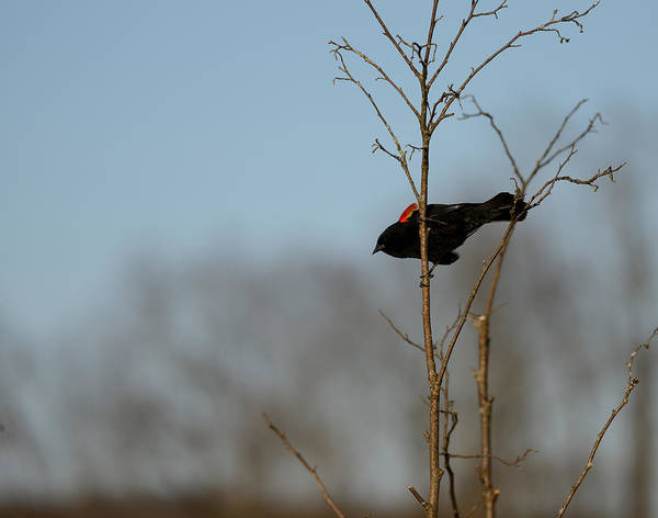 Red-winged Blackbird Poster featuring the photograph Red Epaulets by Ian Ashbaugh