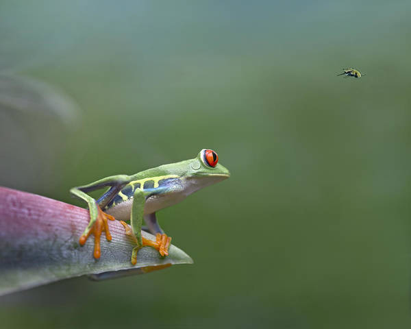 Feb0514 Poster featuring the photograph Red-eyed Tree Frog Eyeing Bee Fly by Tim Fitzharris
