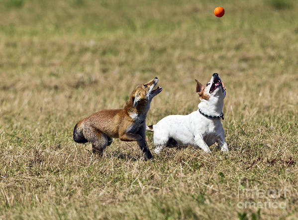 Red Fox Poster featuring the photograph Red Fox Cub And Jack Russell Playing by Brian Bevan