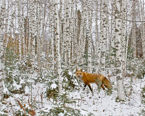 Barn Poster featuring the photograph Red Fox In Birches by Jack Zievis