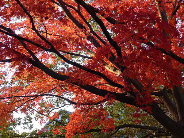 Maple Poster featuring the photograph Red Maple 01 by Richard Reeve