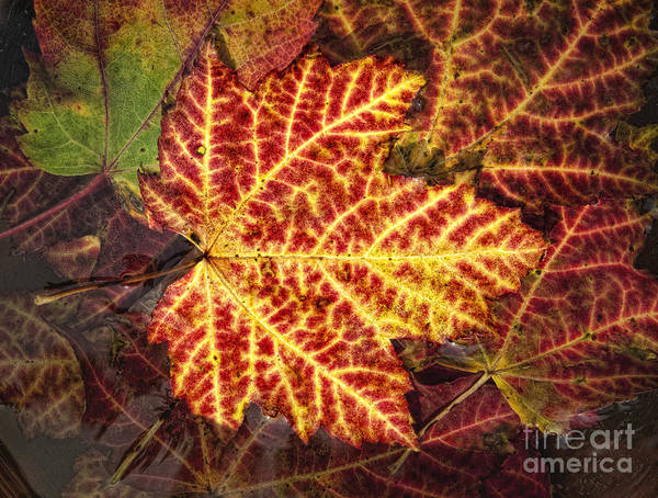 Maple Poster featuring the photograph Red Maple Leaf by Claudia Kuhn