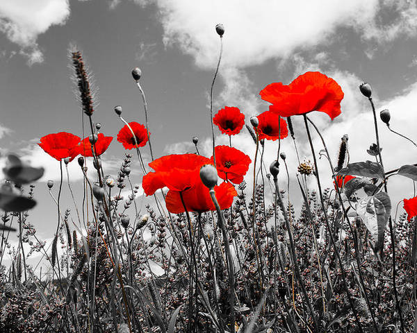Red Poppies On Black And White Background Poster By Dany Lison