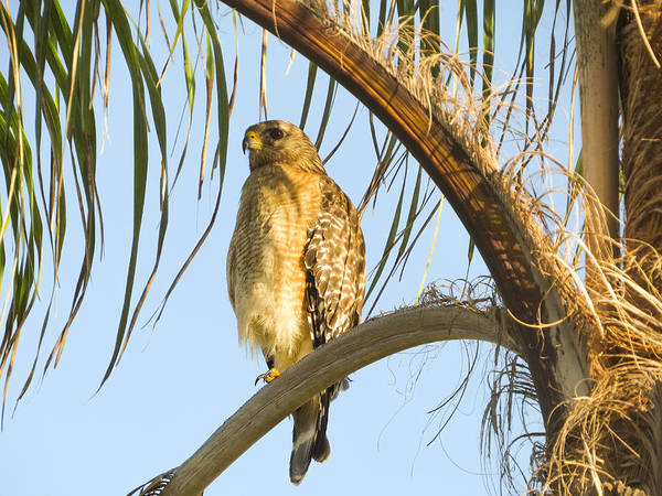 Red-shouldered Hawk Poster featuring the photograph Red-shouldered Hawk On The Palm Tree by Zina Stromberg