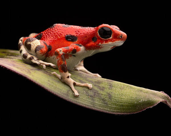 Strawberry Frog Poster featuring the photograph Red Strawberry Poison Dart Frog by Dirk Ercken