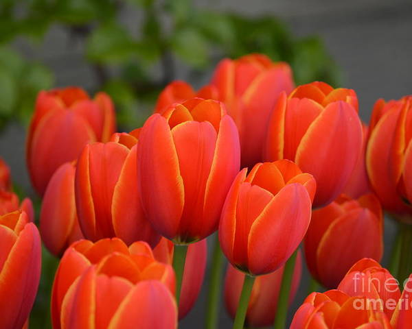 Red Poster featuring the photograph Red Tulips Outlined In Yellow by Jan Noblitt