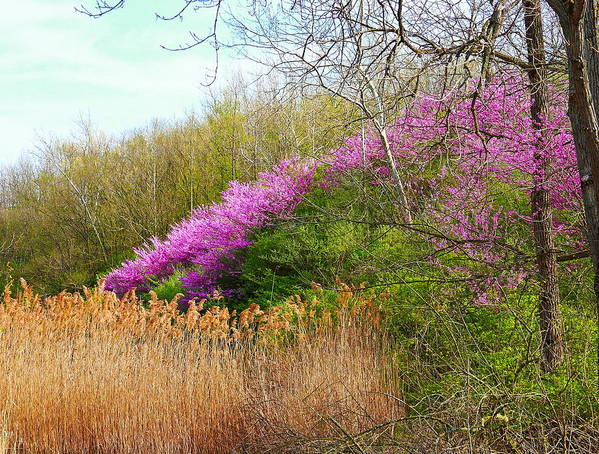 Landscape Poster featuring the photograph Redbuds In Bloom by Virginia Folkman