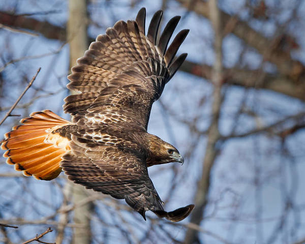 Redtail Hawk Poster featuring the photograph Redtail Hawk by Bill Wakeley