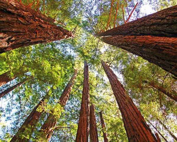 Redwoods Poster featuring the photograph Redwoods by Jack Schultz