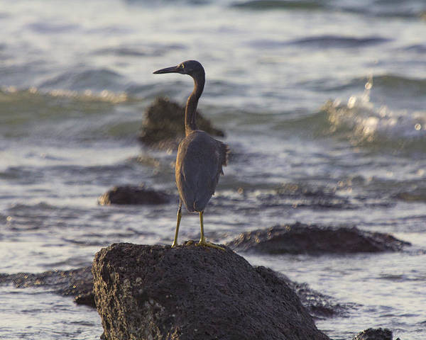 Reef Egret Poster featuring the photograph Reef Egret by Douglas Barnard
