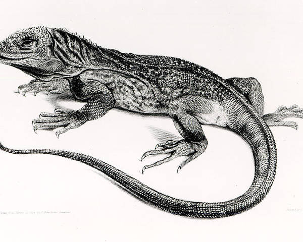 Lizard Poster featuring the painting Reptile by English School