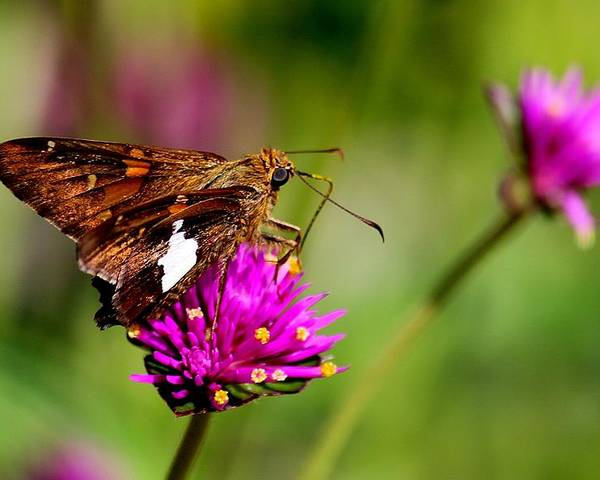 Butterfly Poster featuring the photograph Rest Easy by Rosanne Jordan