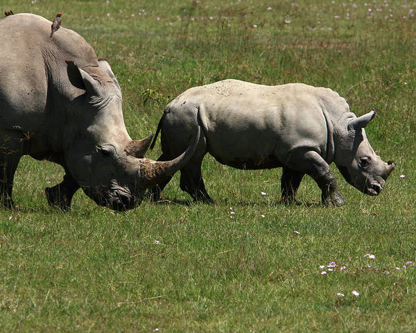 Rhinoceros Poster featuring the photograph Rhinoceros by Aidan Moran