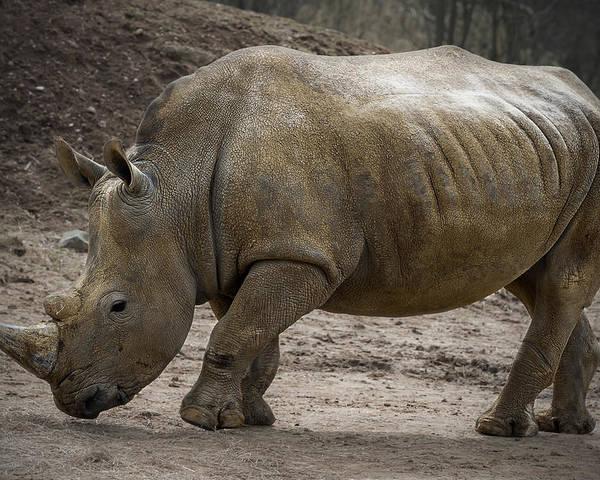 Rhinoceros Poster featuring the photograph Rhinoceros by Svetlana Sewell