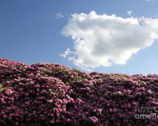 Landscape Poster featuring the photograph Rhododendron by Melissa Petrey