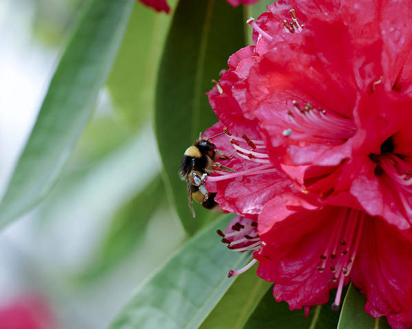 Rhododendron Poster featuring the photograph Rhododendron With Bumblebee by Frank Tschakert