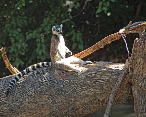 Poster featuring the photograph Ring Tailed Lemur by Tom Winfield
