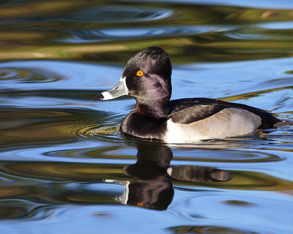 Ring-necked Duck Poster featuring the photograph Rings around Ring-necked Duck by Andrew McInnes