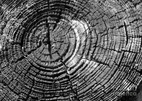 Tree Poster featuring the photograph Rings Of Life by Tahlula Arts