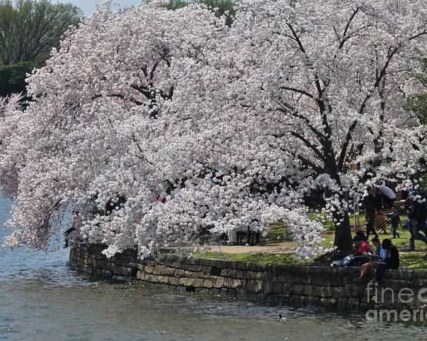 Cherry Blossoms Poster featuring the photograph River Side by Nona Kumah