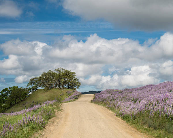 Lupine Poster featuring the photograph Road Through Lupine by Greg Nyquist