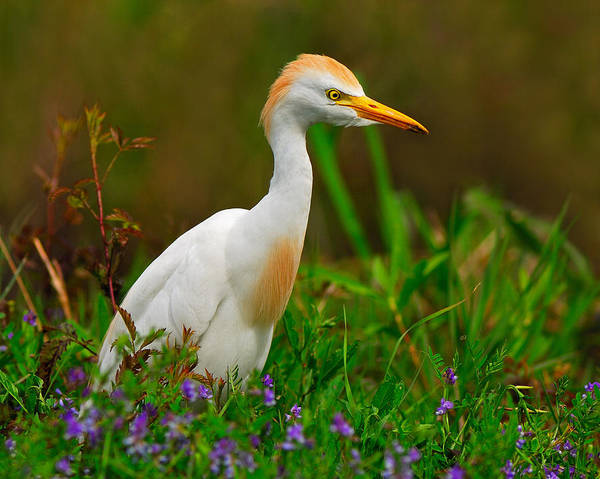 Cattle Egret Poster featuring the photograph Roaming Through The Field by Tony Beck