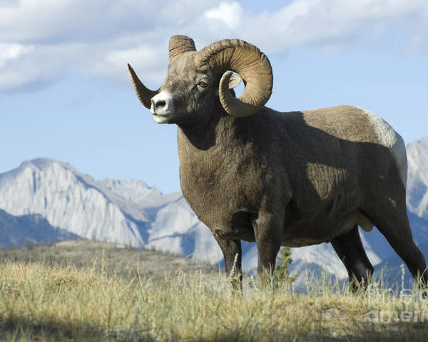 Big Horn Sheep Poster featuring the photograph Rocky Mountain Big Horn Sheep by Bob Christopher