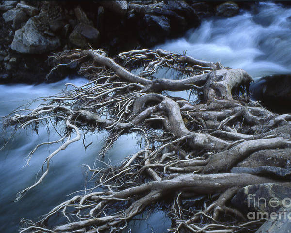 Trees Poster featuring the photograph Roots Over Ozark Stream by Garry McMichael