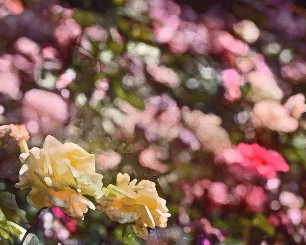 Floral Poster featuring the photograph Rose 209 by Pamela Cooper