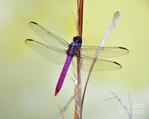 Roseate Skimmer Dragonfly Poster featuring the photograph Roseate Skimmer Dragonfly by Al Powell Photography USA