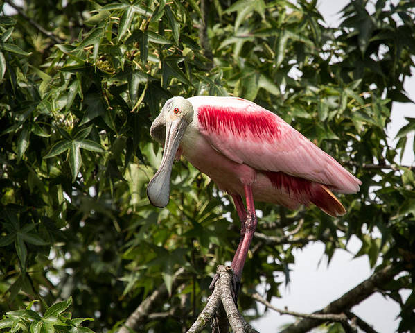 Roseate Spoonbill Poster featuring the photograph Roseate Spoonbill What Are You Looking At 2 by Gregory Daley MPSA