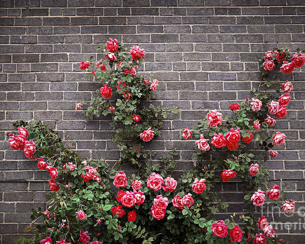 Rose Poster featuring the photograph Roses On Brick Wall by Elena Elisseeva