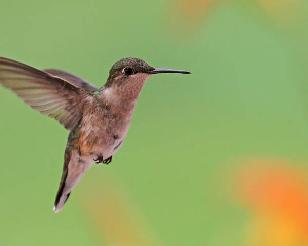 Ruby-throated Hummingbird Poster featuring the photograph Ruby-throated Hummingbird by Jaron Wood