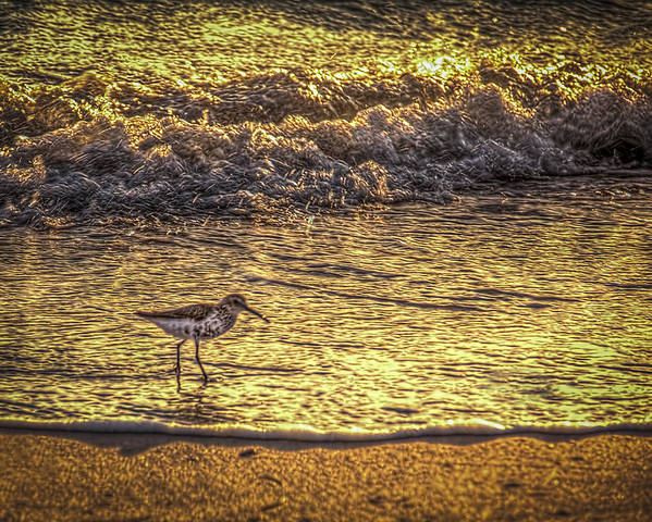 Sand Piper Poster featuring the photograph Sand Piper by Marvin Spates