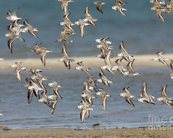Animal Poster featuring the photograph Sanderlings And Dunlins In Flight by Anthony Mercieca