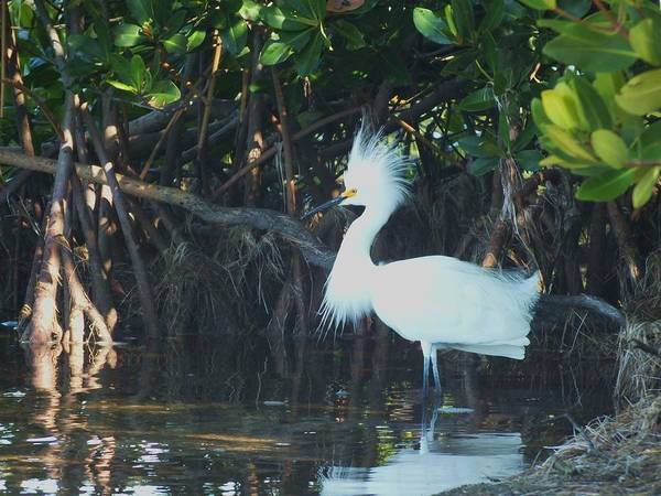 Snowy Egret Poster featuring the photograph Sassy Snowy Egret by Anna Villarreal Garbis