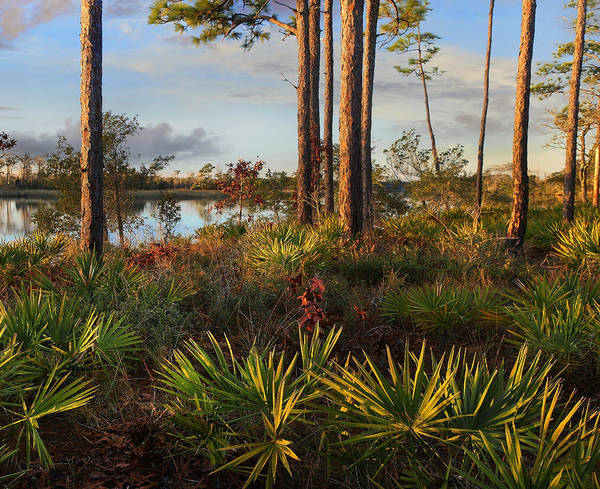 Tim Fitzharris Poster featuring the photograph Saw Palmetto And Longleaf Pine by Tim Fitzharris