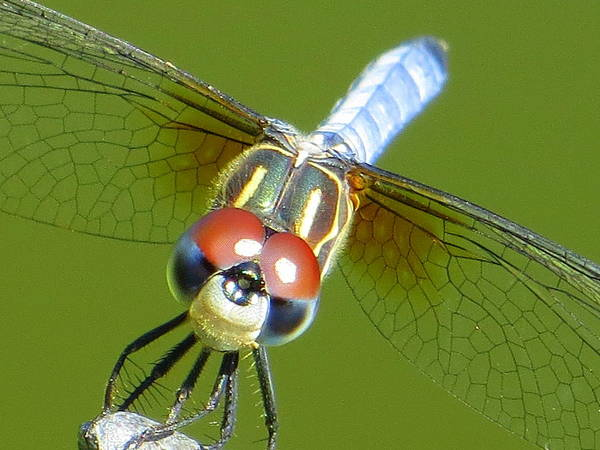 Dragonfly Poster featuring the photograph Say Cheese by Karen Shackles
