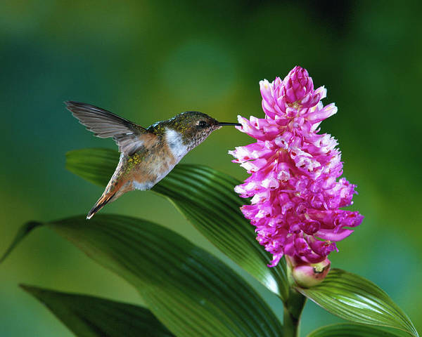 Close Up Poster featuring the photograph Scintillant Hummingbird Selasphorus by Michael and Patricia Fogden