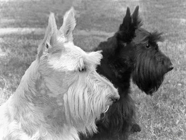 Scottish Terrier Poster featuring the photograph Scottish Terrier Dogs Black And White by Jennie Marie Schell