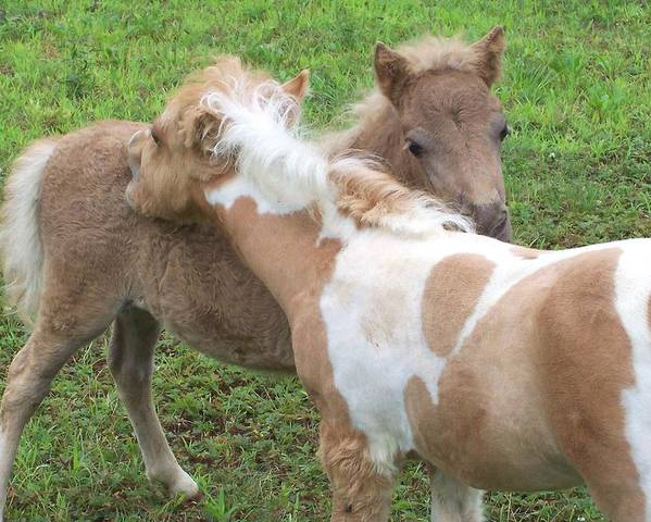 Miniature Horse Poster featuring the photograph Scratching Backs by Amy Porter