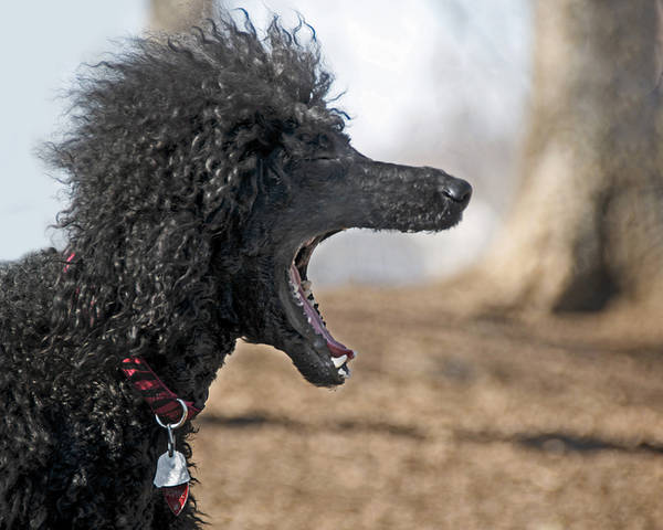 American Water Spaniel Poster featuring the photograph Screaming by Steven Michael