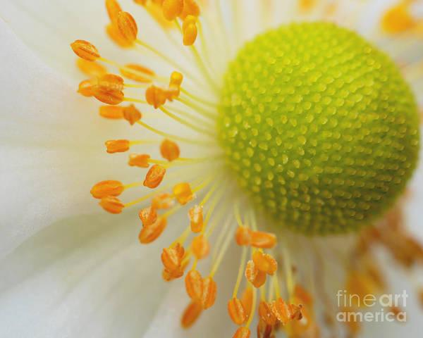 Round Headed Macro Snow Drop Anemone Macro Poster featuring the photograph Sea Anemone Abstract by Irina Wardas