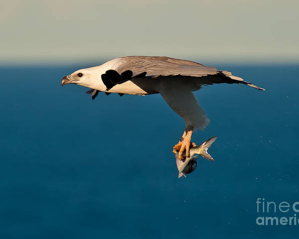 Sea Eagle Poster featuring the photograph Sea Eagle With Catch by Michael Nau