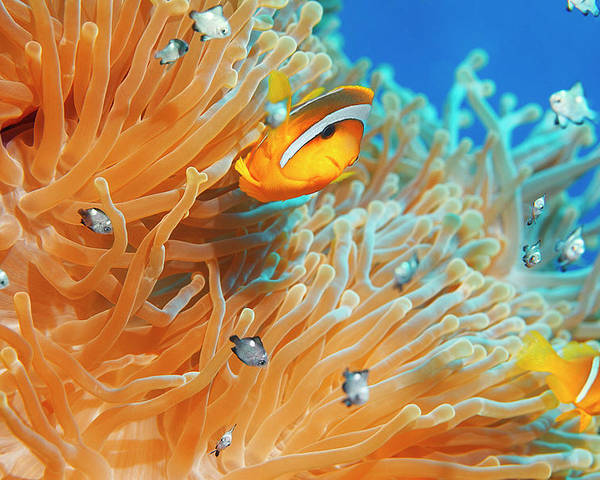 Underwater Poster featuring the photograph Sea Life - Anemone Clownfish by Ultramarinfoto