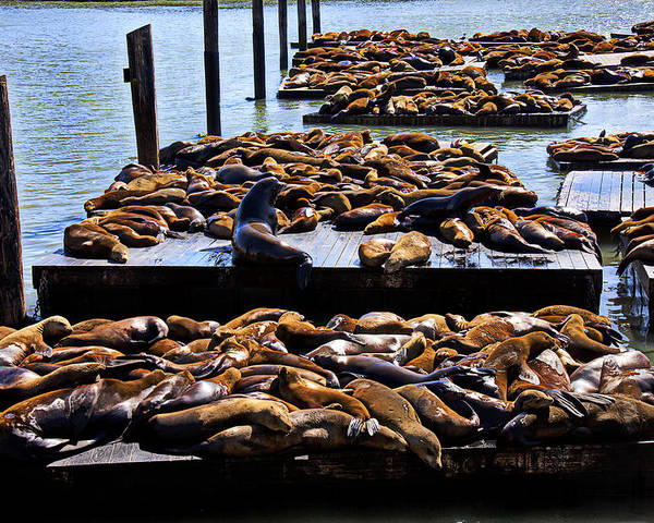 Sea Lions Animal Mammal Sea Life Rest Resting Poster featuring the photograph Sea Lions At Pier 39 by Garry Gay