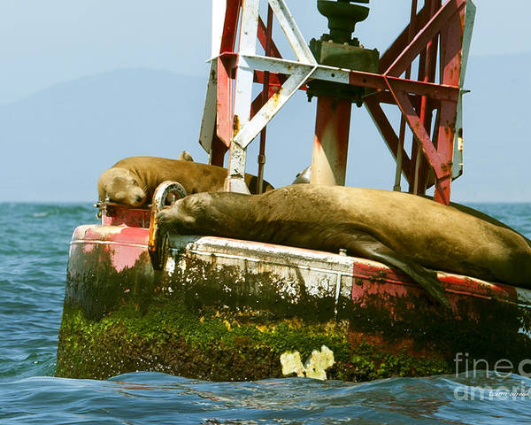 Sea Lions Poster featuring the photograph Sea Lions Floating On A Buoy In The Pacific Ocean In Dana Point Harbor by Artist and Photographer Laura Wrede