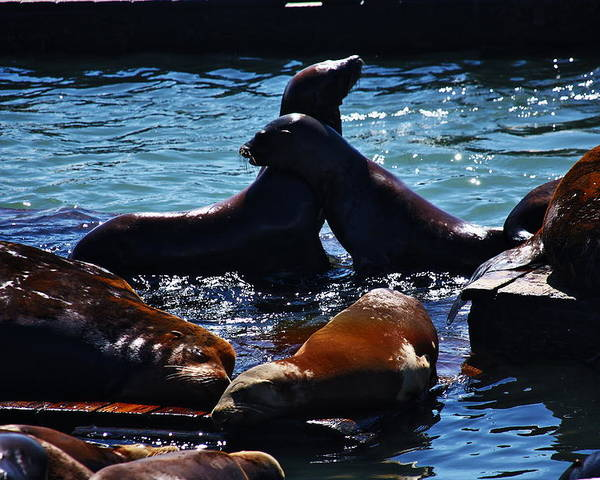 San Francisco Poster featuring the photograph Sea Lions In San Francisco Bay by Aidan Moran